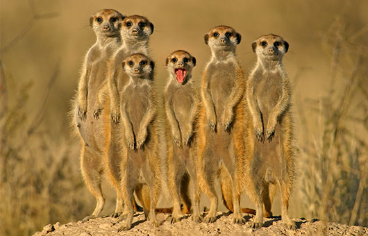 A merry band of meercats in South Africa