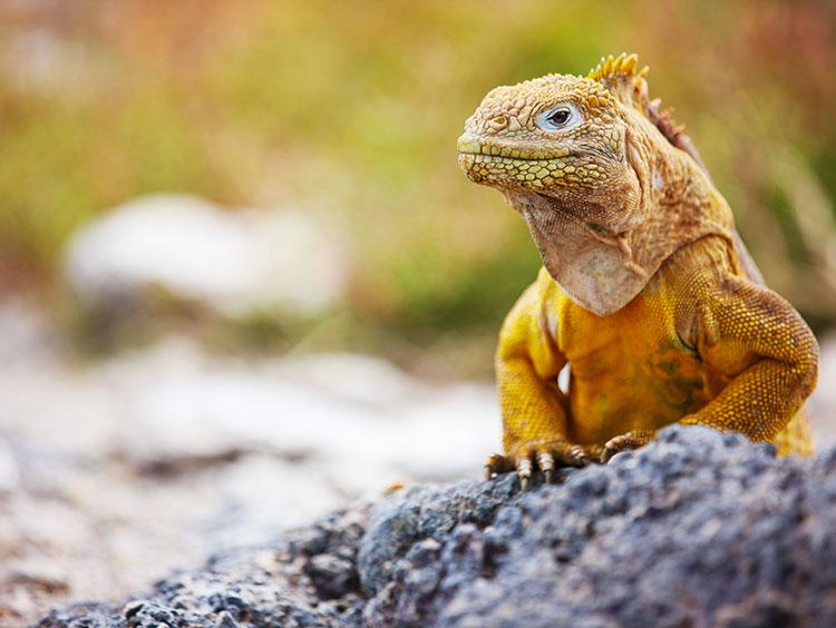 Iguana in the Galapagos Islands